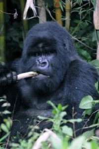Gorilla Trekking-